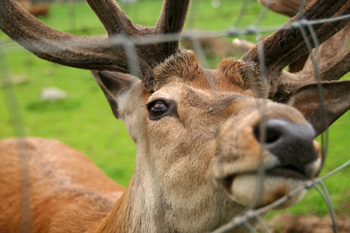 Matlock Farm Park - Red deer stag